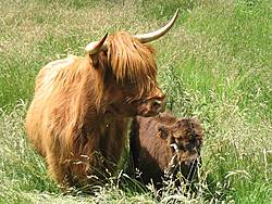 Vaches de race Highland Cattle
